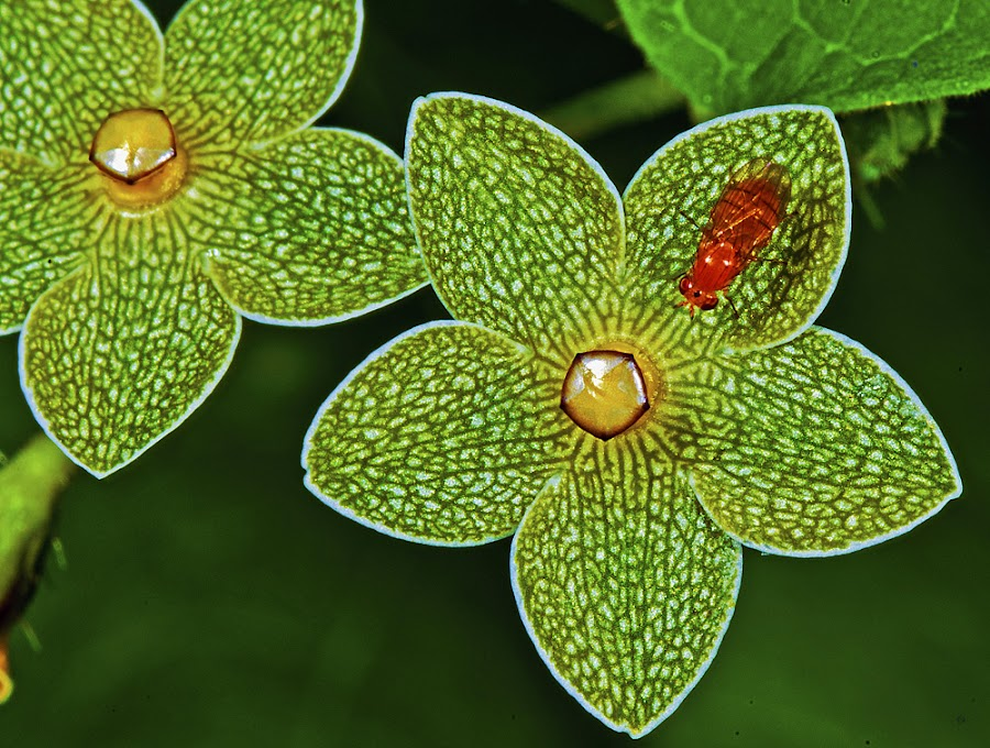 1.5 pearl milkweeds by David Winchester - Nature Up Close Flowers - 2011-2013 (  )