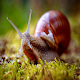 Cultivating Snail