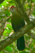 Photo: Red-crested Turaco