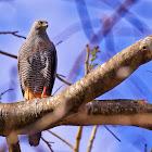Gavião-pernilongo (Crane Hawk)