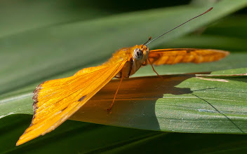 Photo: A Julia butterfly (Dryas iulia). Check out her eyes! Photo by Don Williamson Photography