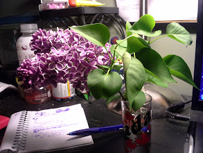 Photo: Love bringing in home clippings my my lilacs