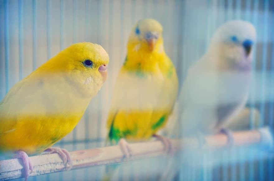 budgie, budgies, bird, plumage, parakeet, yellow, nature, color, cute,  colorful, animals | Pikist