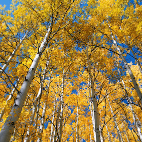 aspen forest by Heather Diamond - Nature Up Close Trees & Bushes ( orange, mountains, tree, autumn, grass, foliage, fall, white, trees, yellow, tall, aspen, leaves, nature, abscission, folliage )