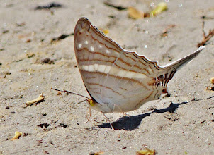 Photo: Unidentifizierter Schmetterling am Ufer des  Rio Napo.