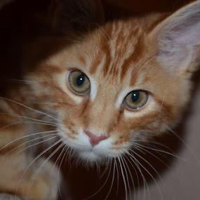 by Sheila Chancellor-Hillman - Animals - Cats Portraits (  )