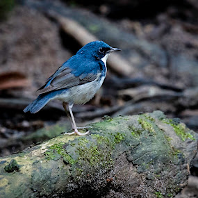 Blue Robin by Pungut Luntar - Animals Birds ( bird, tokki, wild, bukittinggi, nature, jungle, burd, blue-robin, wildlife, malaysia, siberian )