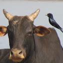 Black Drongo (Kotwal)
