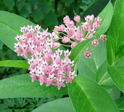 Photo: Downy Swamp Milkweed, 7.20