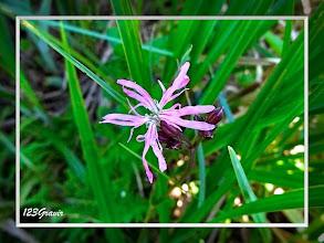 Photo: Silène fleur de coucou, Lychnis flos-cuculi
