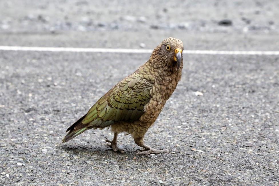 Papuga Kea