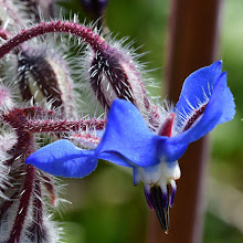 Photo: Borago oficinalis