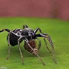 Ant-mimic Sac Spider