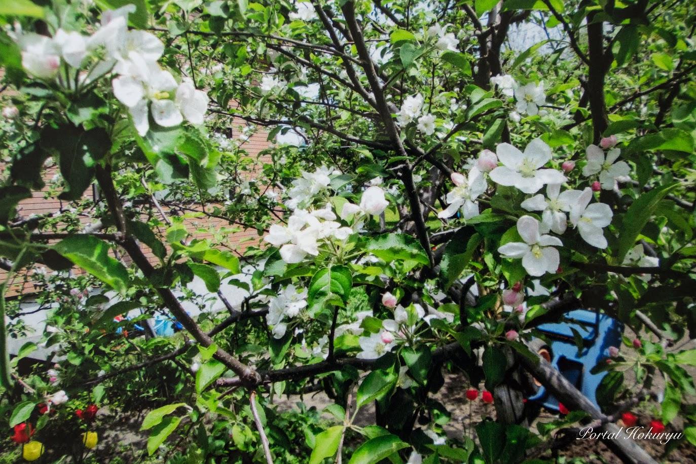 お庭のリンゴの花