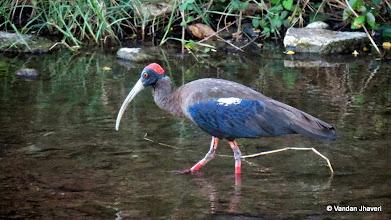 Photo: Black Ibis