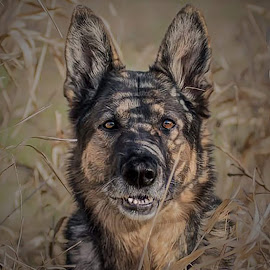 Ginger  by Canine Cardi - Animals - Dogs Portraits ( k9-cardi, german shepherd )