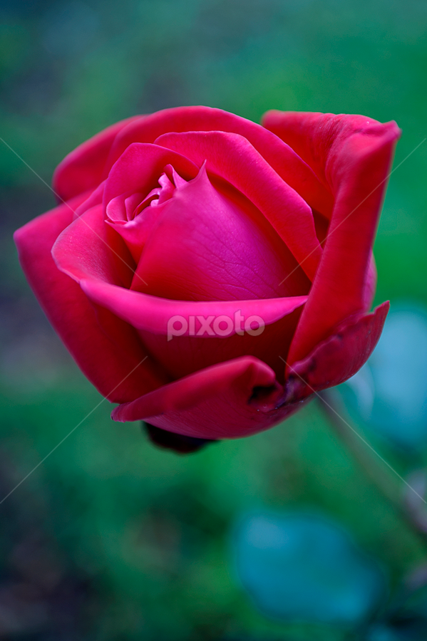 Pink Rose by Cristobal Garciaferro Rubio - Nature Up Close Flowers - 2011-2013 ( rose, roses, flowers, bokeh, flower, petal )