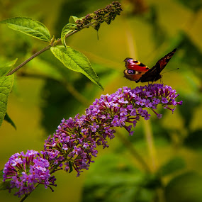 Butterfly on a Butterfly Bush by Nathan Robertson - Animals Insects & Spiders ( butterfly bush, butterfly, garden, flower, scotland )