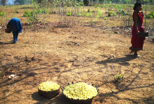 The highly valued mahua flowers are collected, dried and made into liquor. Its seeds yield oil that can be used for cooking. Among some tribal groups mahua paste is used medicinally to facilitate childbirth. Credit: Manipadma Jena/IPS