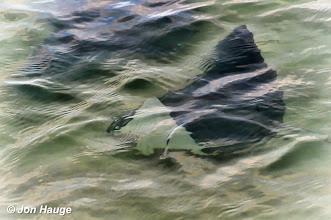 Photo: A school of manta rays  in Gulf Shores, Alabama on Wednesday October 12,2011.