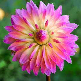 Yellow & purple Dahlia #7 by Jim Downey - Flowers Single Flower ( green, dahlia, yellow, purple, petals )