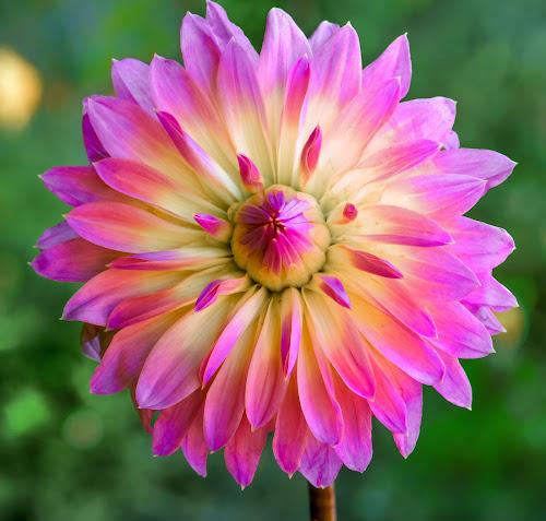Yellow & purple Dahlia #7 by Jim Downey - Flowers Single Flower ( green, dahlia, yellow, purple, petals )