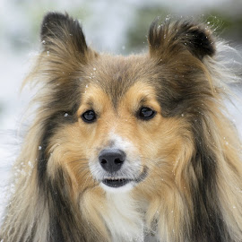 Benji finally sees snow!!! by Fiona Etkin - Animals - Dogs Portraits ( canine, nature, pet, snow, shetland sheepdog, dog, sheltie, animal )
