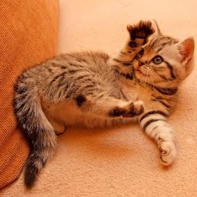 by Oleg Verjovkin - Animals - Cats Kittens ( kitten, plays )