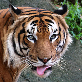 Tiger by Paramasivam Tharumalingam - Animals Lions, Tigers & Big Cats (  )