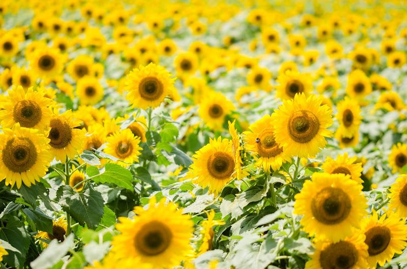 Photo: 笑顔を生む花畑 Flower garden that Make a smile.  Photo of Sunflower field. 先日訪れた明野のひまわり畑、 今年は台風の影響もあり、 メイン会場のひまわりたちは ほとんどがぐったりと倒れて とても可愛そうな状況でした。 ただ少し離れた別の会場では 少しまばらながらも倒れることなく咲き、 元気な姿を見せてくれました♪ その光景に訪れる人々も みんな嬉しそうな表情を浮かべてきらきら、 夏の花、この小さな太陽達を見ていると 自然と笑顔がこぼれ出す。  #flower #cooljapan #365cooljapanmay Nikon D7000 SIGMA MACRO 105mm F2.8 EX DG OS HSM (3枚追加:Added 3 photo) [ Day97, August 17th ]