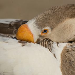 Duck by Fabienne Lawrence - Animals Birds ( feather, duck, bird, duckling, water, lake )