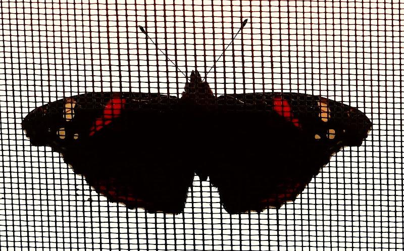 la farfalla di giomau17