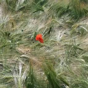 by Hilde Van Assche - Landscapes Prairies, Meadows & Fields (  )