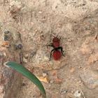 Velvet ant wasp