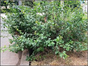 Photo: Gutui Japonez (Chaenomeles japonica) - de pe Calea Victoriei , Nr.19-21, spatiu verde - 2017.06.07