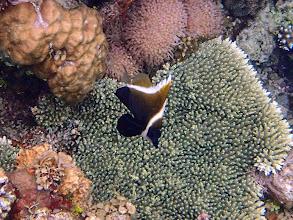 Photo: Heniochus varius (Humphead Heniochus), Sand Island, Palawan, Philippines.