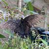 Dark phase tiger swallowtail