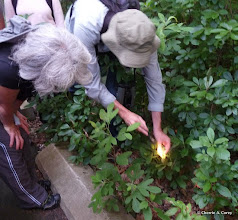 Photo: Looking for spicebush swallowtail caterpillar