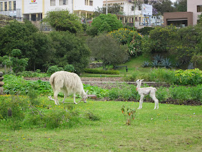 Photo: Baby llama