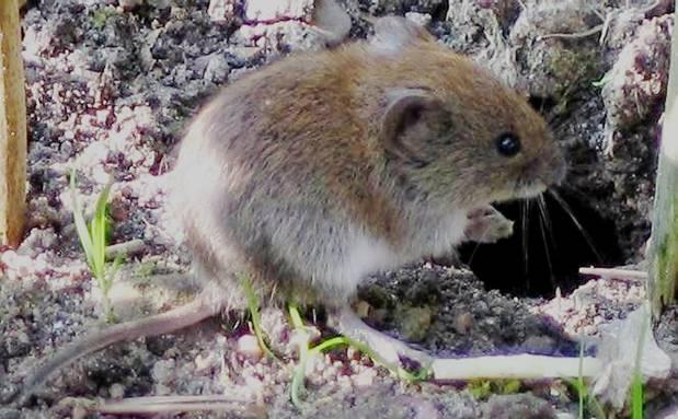 http://drkaae.com/Vertebtrates/Chapter_3_Voles_Deer_Mice_Pack_Rats_files/image002.jpg