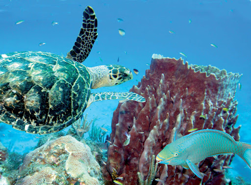 Guadeloupe-reef-turtle.jpg - Get up close and personal with marine life while snorkeling on Basse-Terre, Guadeloupe.