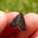 Wedgling moth