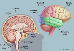 Photo: Parts of the brain  Image: webMD