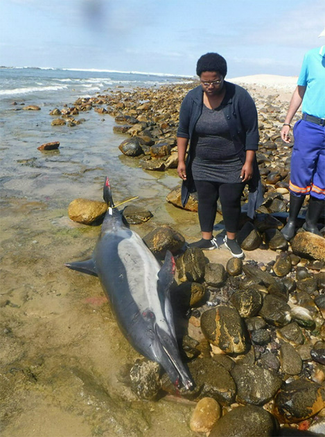 Bayworld experts arrived on the scene after an adult common dolphin was found in a tidal pool on the beach at Cape Recife Nature Reserve on Wednesday, 11 April 2018.