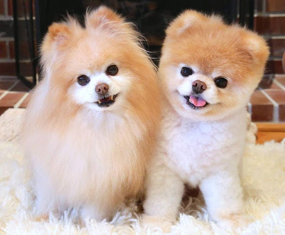 Pomeranian Dog Price