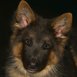 Otis by Chrissie Barrow - Animals - Dogs Portraits ( german shepherd dog, tan, fur, ears, puppy, brown, dog, pet )