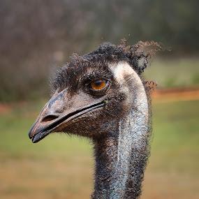 Emu by Steve Hunt - Animals Birds ( queensland, australia, emu,  )