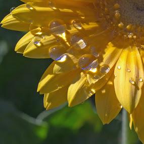 Drops by Randi Hodson - Flowers Single Flower ( plant, water drops, yellow, morning, garden, close up, flower,  )