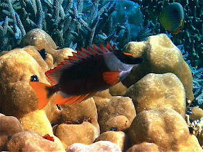 Photo: fox-face rabbitfish, Ao Maeyai