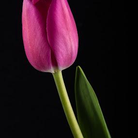 Pink Tulip 1 by Simon Hall - Flowers Single Flower (  )